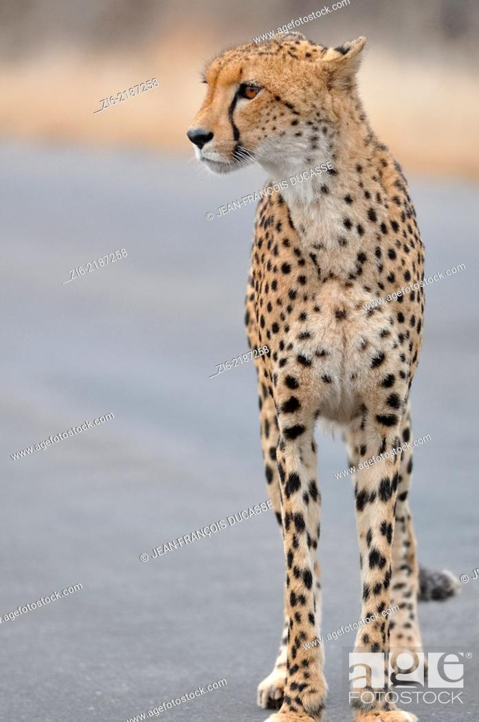 Stock Photo: Cheetah (Acinonyx jubatus), standing in the middle of the road, early in the morning, Kruger National Park, South Africa, Africa.
