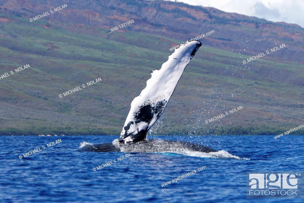Stock Photo: Adult humpback Whale Megaptera novaeangliae pectoral fin slapping in the AuAu Channel, Maui, Hawaii, USA  Pacific Ocean.