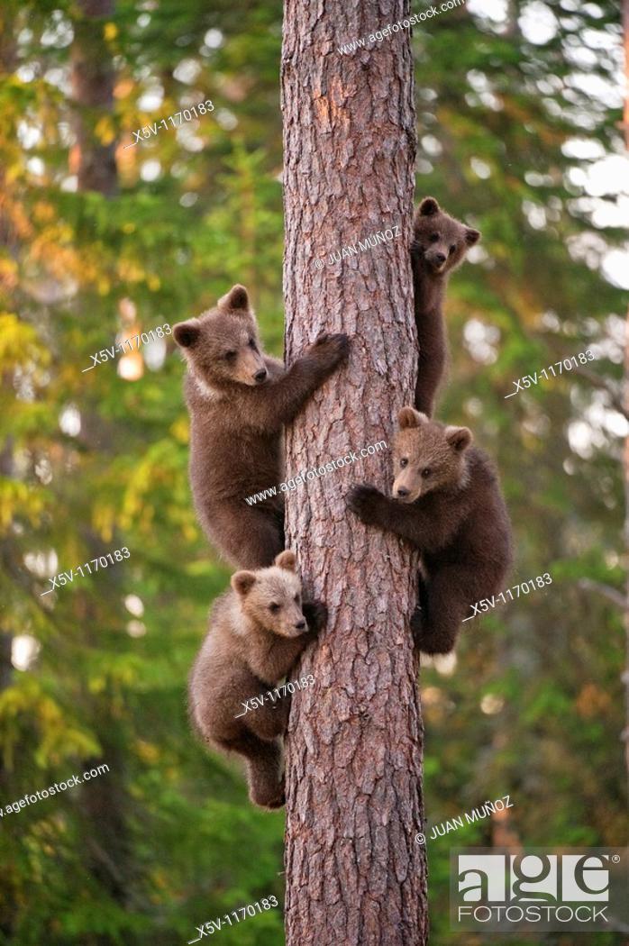 Stock Photo: Four cubs uploaded to a tree, Ursus arctos arctos, European brown bear, Martinselkonen Nature Park, region of Kainuu, Finland, Scandinavia, Europe.