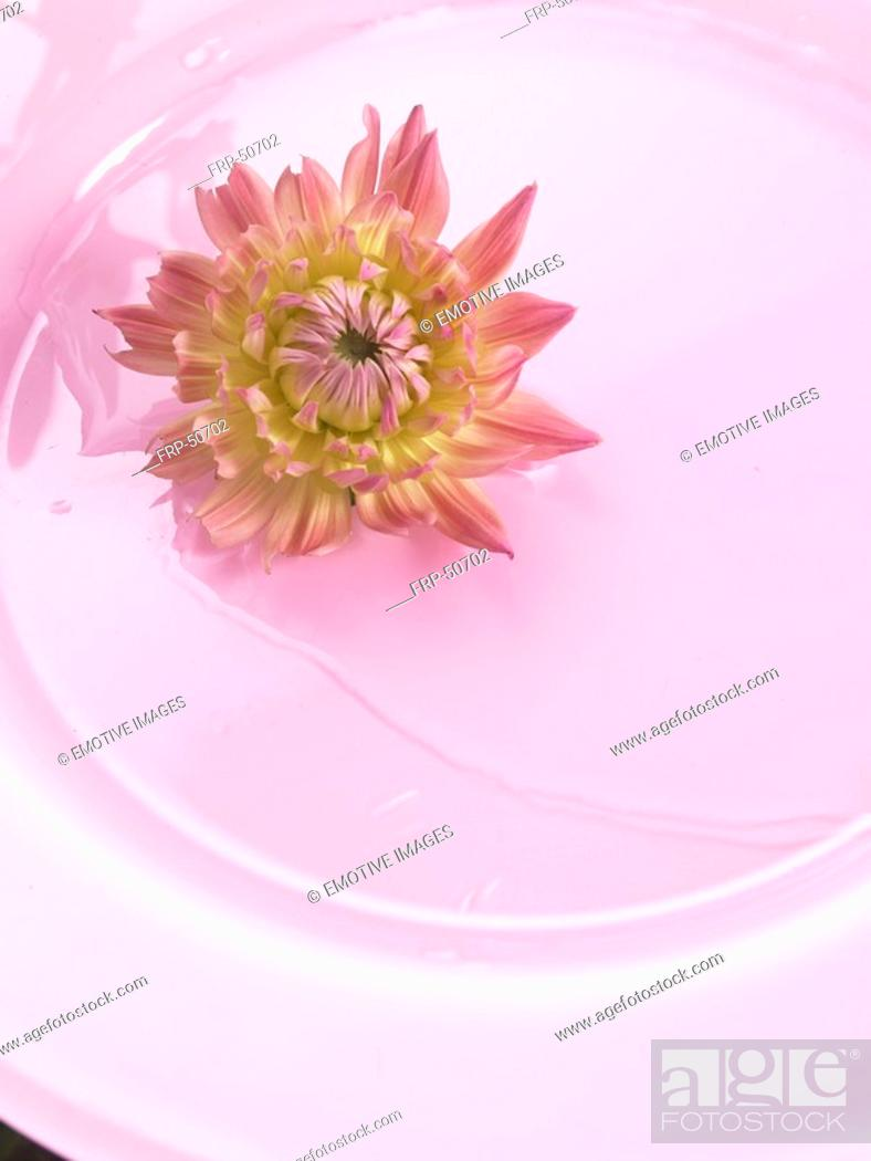 Stock Photo: Chrysanthemum blossom on a pink plate.