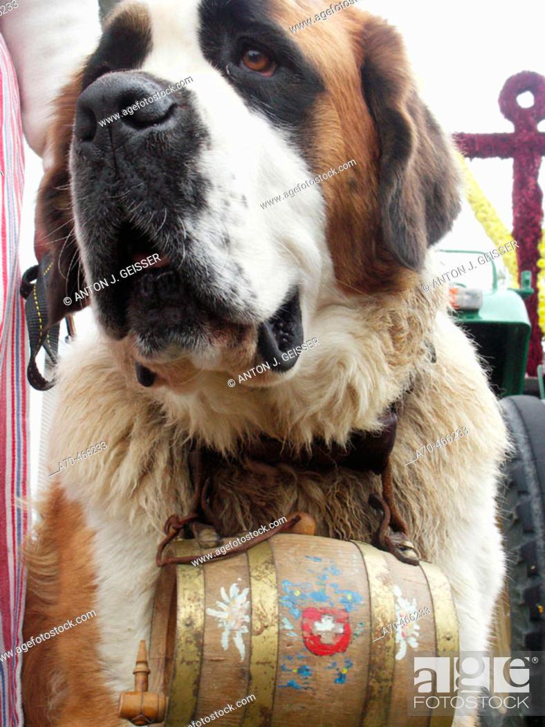 Stock Photo: Saint Bernard dog.