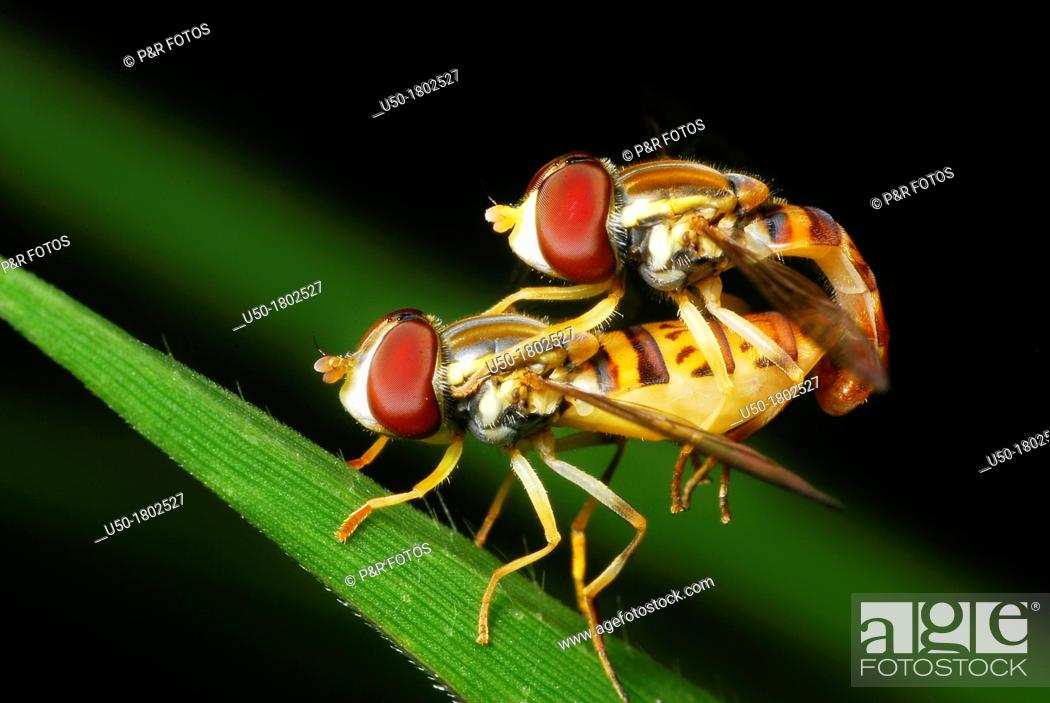 Stock Photo: Couple of Flower Fly, Syrphus sp , Syrphidae, Diptera  2012.