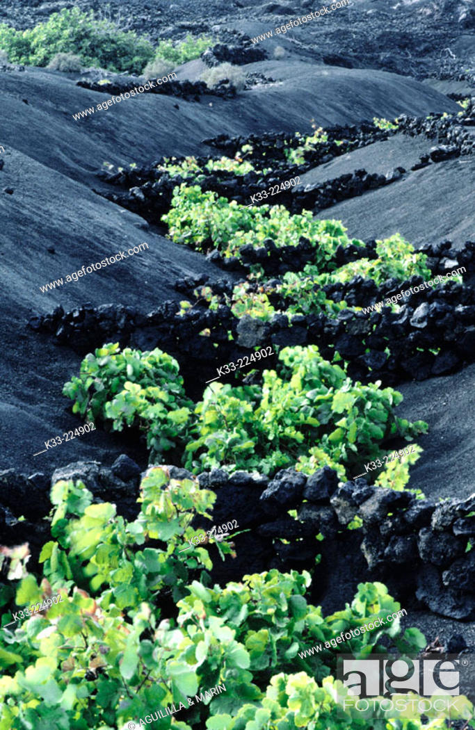Stock Photo: Vineyards growing on volcanic ground. La Geria. Lanzarote. Canary Islands. Spain.