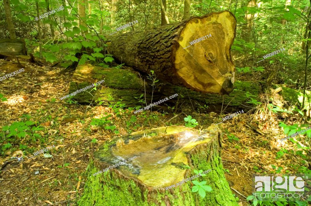 Stock Photo: Cut Tree, Cherokee Orchard Area, Great Smoky Mtns NP, TN.