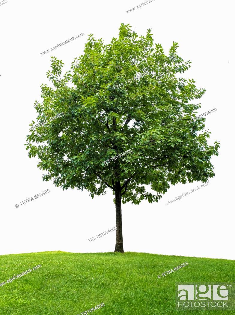 Stock Photo: Little oak tree against white background.