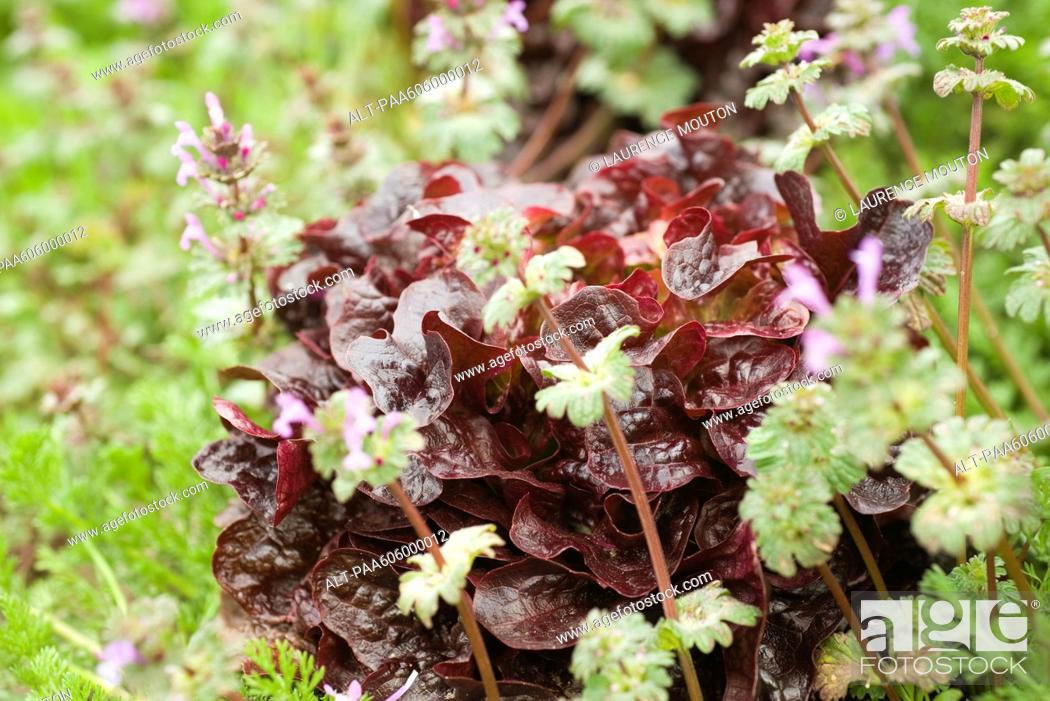 Stock Photo: Merlot lettuce and herbs growing.