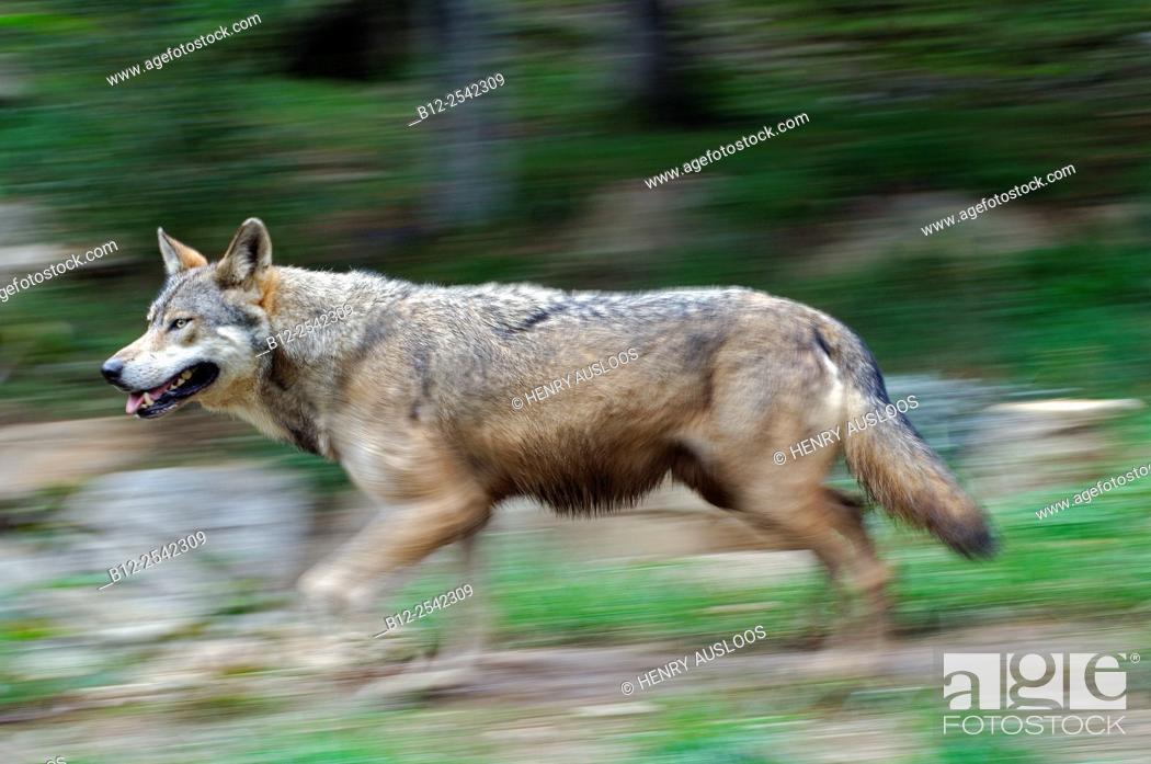 Stock Photo: European Grey Wolf Canis lupus, Motion blur.