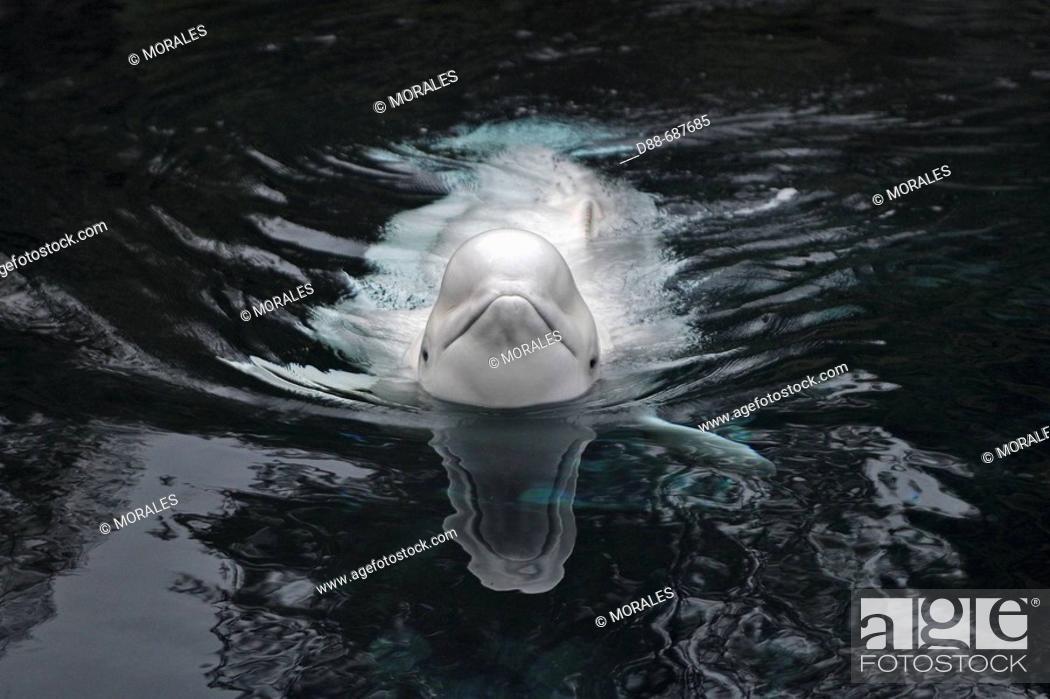 Stock Photo: Beluga Whale or White Whale (Delphinapterus leucas) Order: Cetacea. Family: Monodontidae. Vancouver aquarium. British Columbia, Canada.