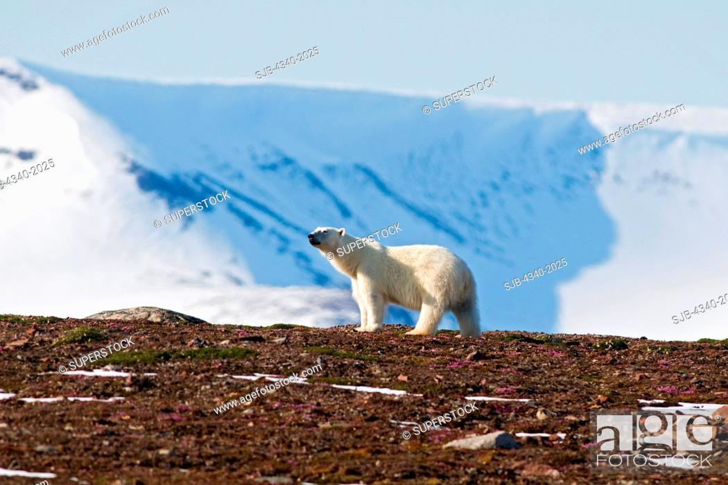 Stock Photo: A polar bear Ursus maritimus sow walking on Andoyane island in Liefdefjorden, Svalbard archipelago, Norway, in summertime.