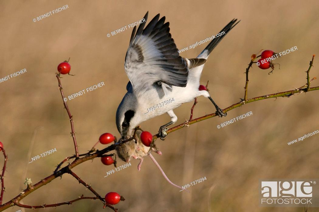 Stock Photo: Great grey shrike Lanius excubitor, with captured mouse in hedge rose, rose hips, Bavaria, Germany.