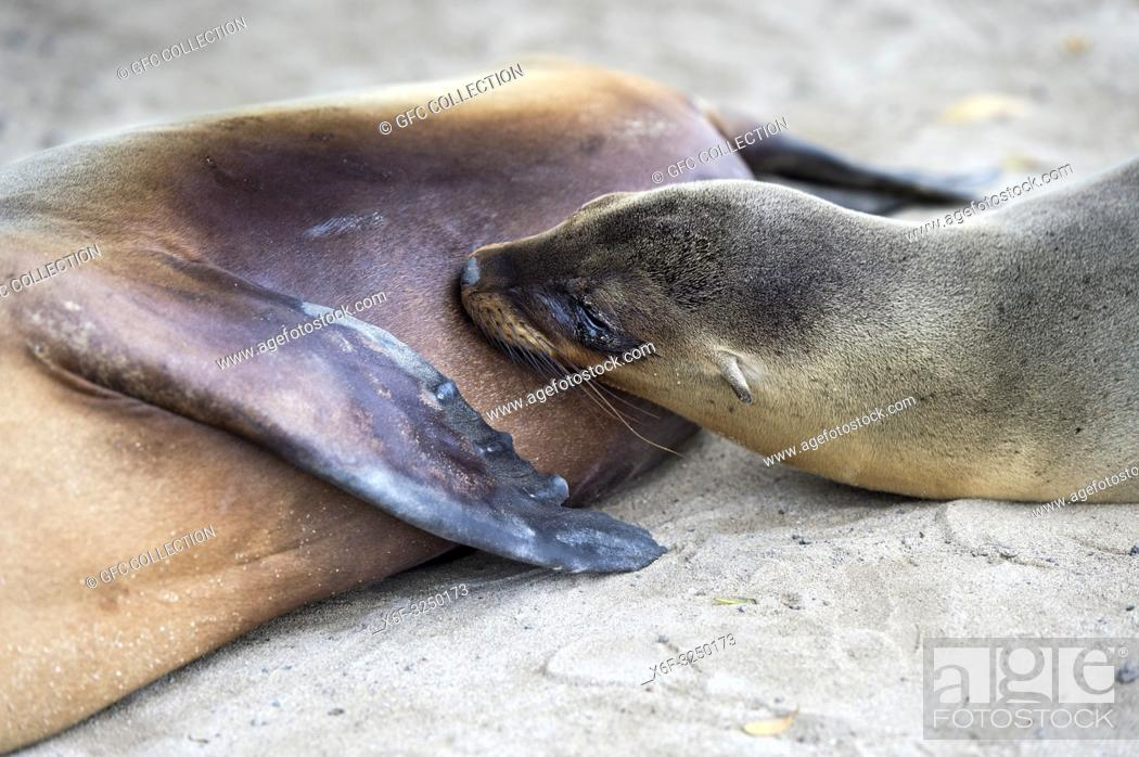 Stock Photo: Säugendes Jungtier, Galapagos Seelöwe (Zalophus wollebaeki), Familie der Ohrenrobben (Otariidae) endemische Art in Galapagos, Insel Isabela, Galapagos Inseln.