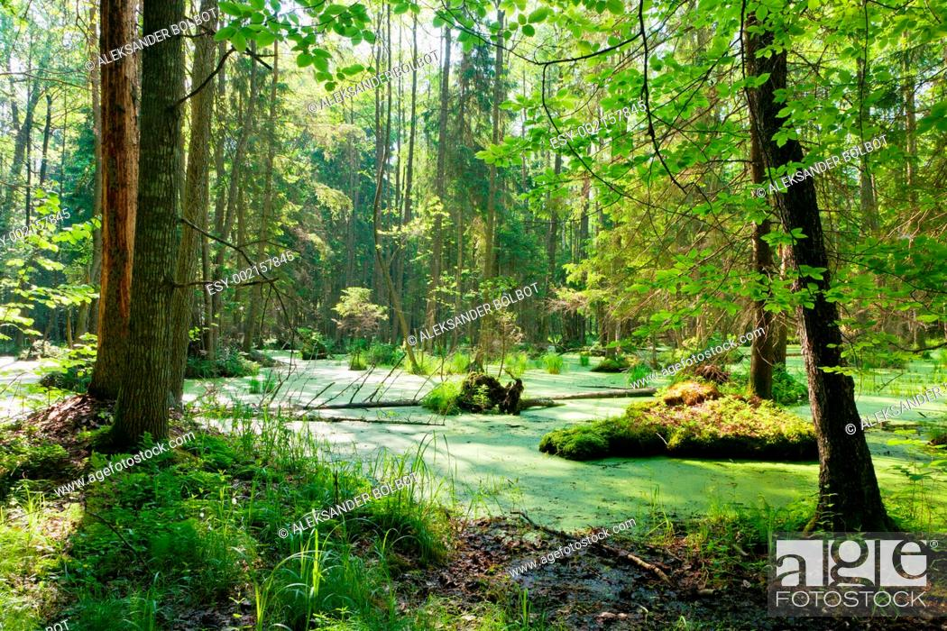 Stock Photo: Natural alder-carr stand of Bialowieza Forest with standing water, Podlasie Province, Poland.