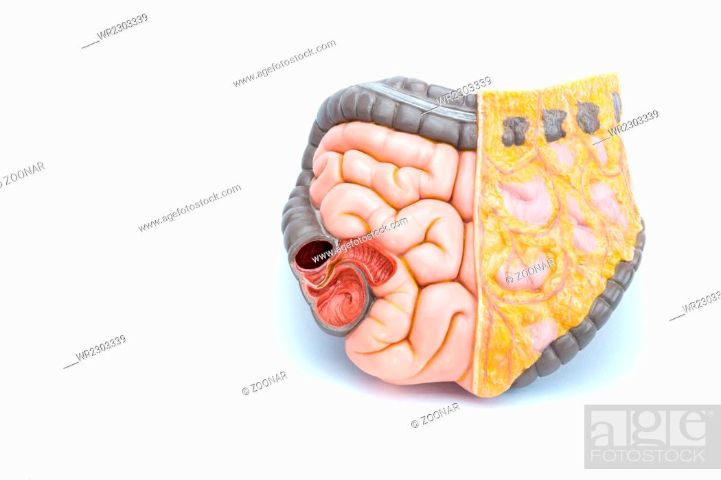 Artificial Model Of Human Intestines Stock Photo Picture And