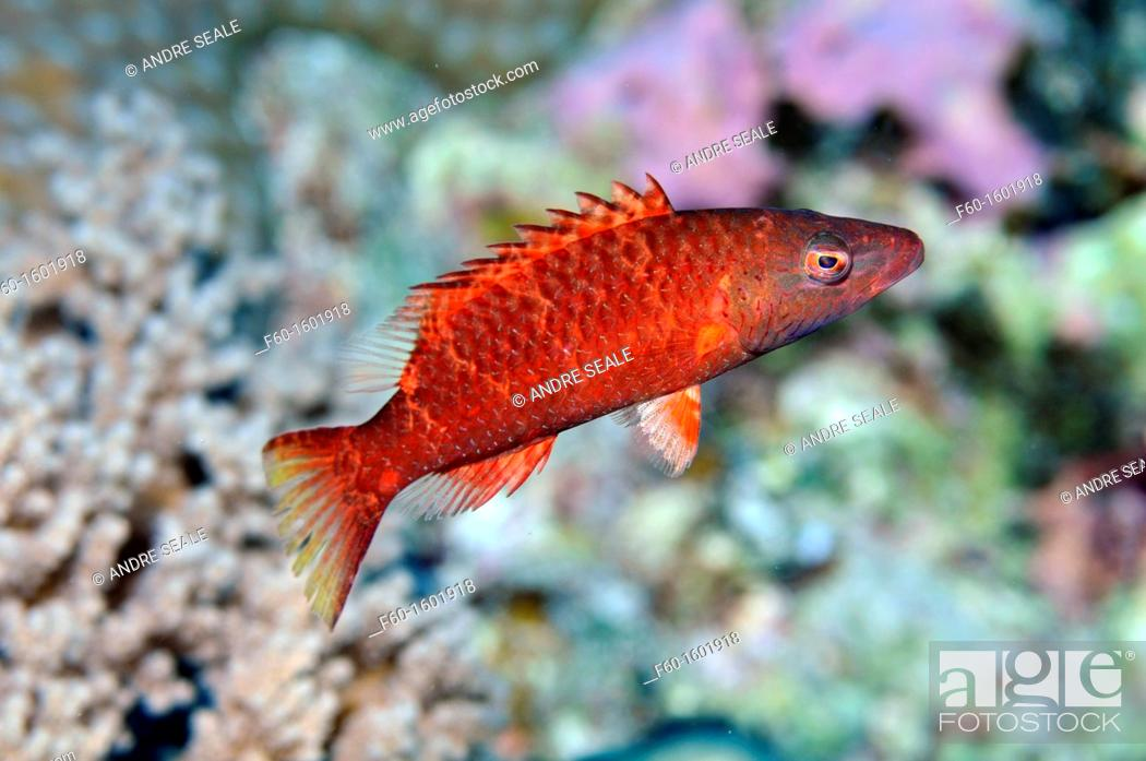 Stock Photo: Linedcheeked wrasse red variation, Oxycheilinus digrammus, Pohnpei, Federated States of Micronesia.