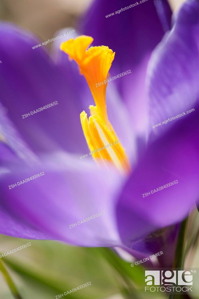 Stock Photo: Purple crocus.