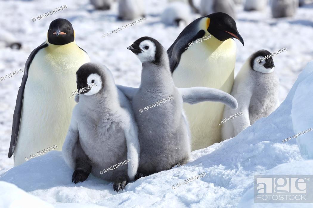 Stock Photo: Emperor penguins (Aptenodytes forsteri), chicks with adults, Snow Hill Island, Weddell Sea, Antarctica.