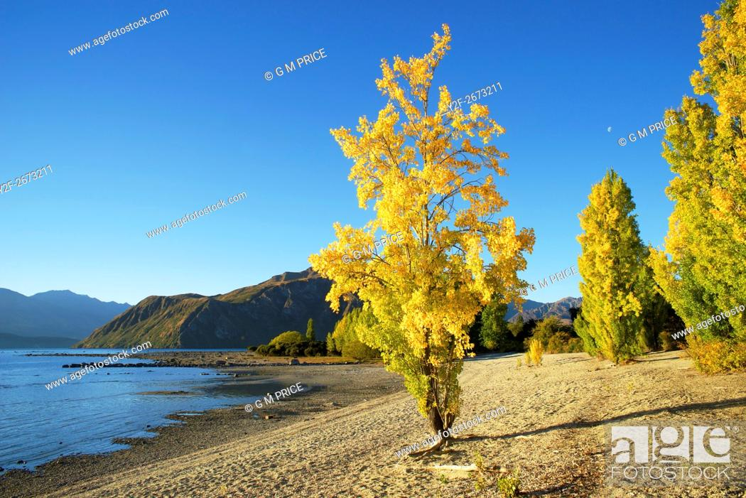 Stock Photo: Autumn poplar on stony beach beside Lake Wanaka, New Zealand.