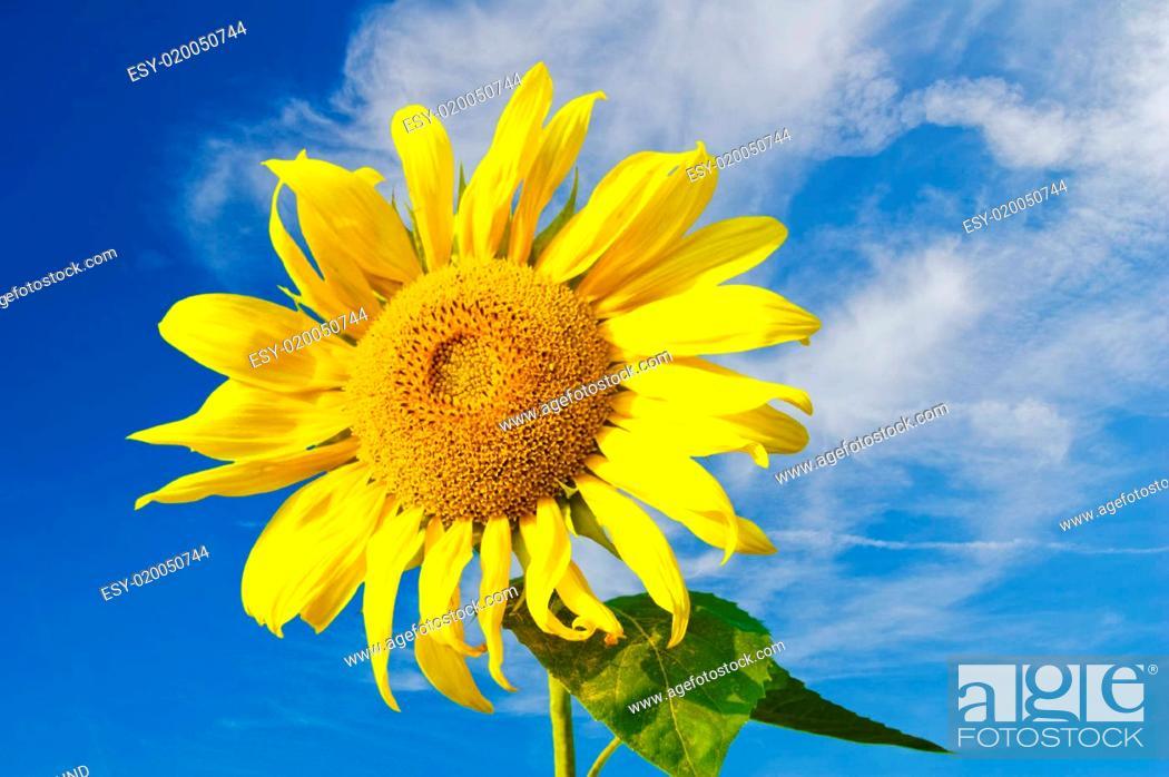 Stock Photo: Sonnenblume 4.