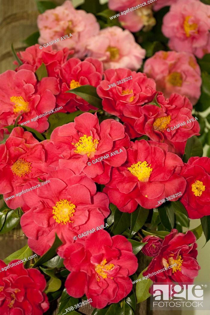 "Stock Photo: Camellia reticulata """"Frank Houser"""" on exhibition in Furnas Valley (""""Vale das Furnas""""), Sao Miguel, Azores islands, Portugal."