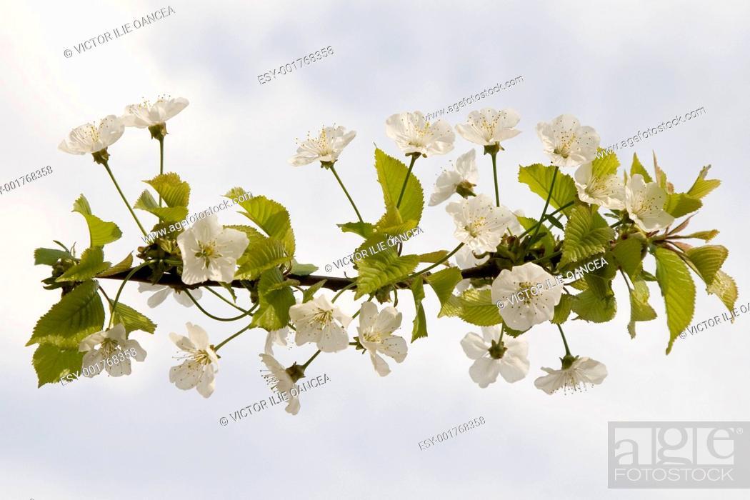 Stock Photo: white flower.