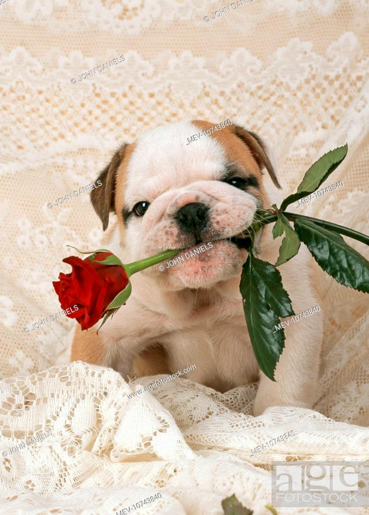 Stock Photo: DOG - Bulldog puppy with rose in mouth.