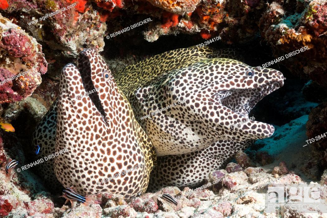 Stock Photo: Group of Honeycomb Moray, Gymnothorax favagineus, North Male Atoll, Maldives.