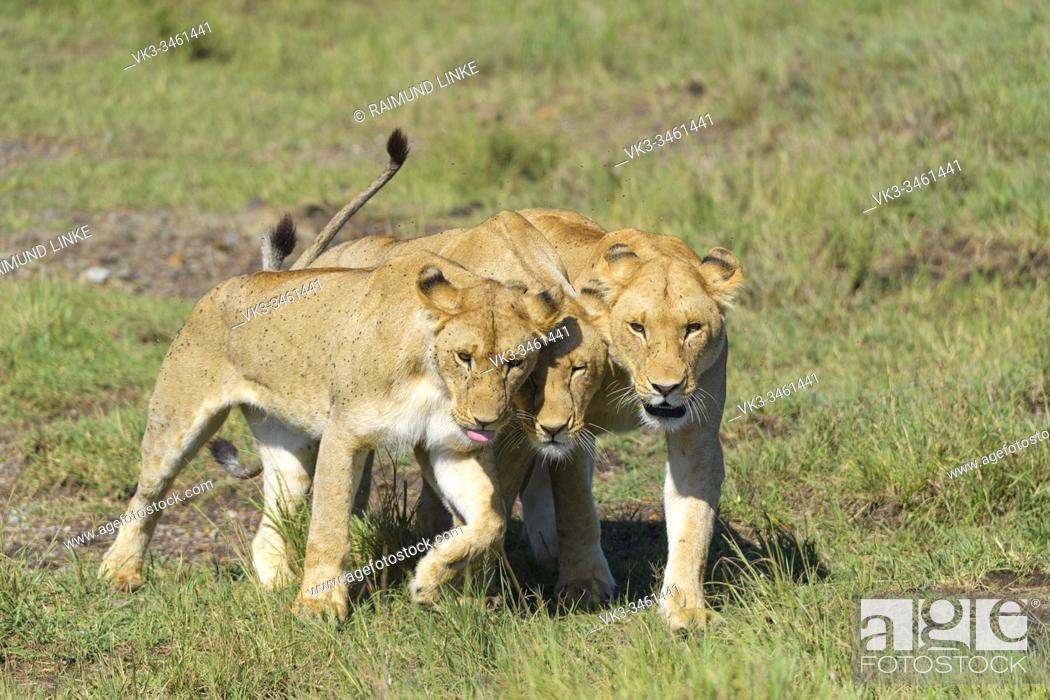 Stock Photo: African lion, Panthera Leo, three females, Masai Mara National Reserve, Kenya, Africa.
