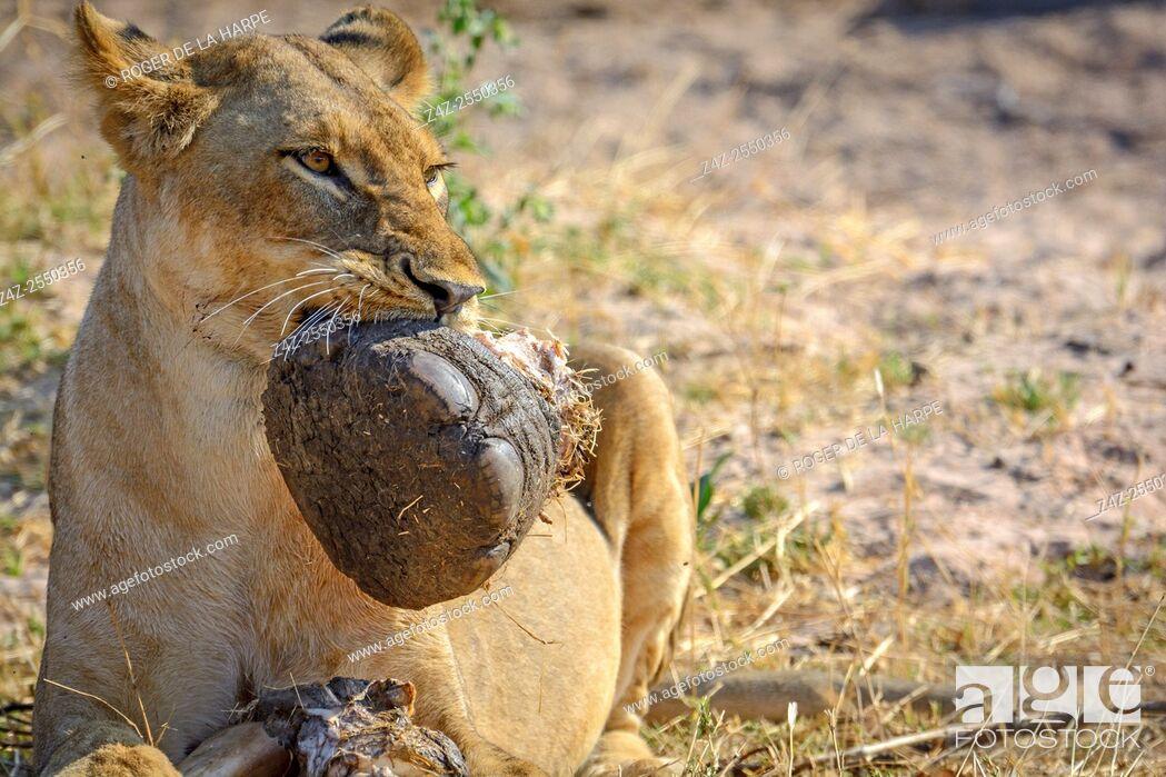 Imagen: Masai lion or East African lion (Panthera leo nubica syn. Panthera leo massaica) feeding on an African bush elephant (Loxodonta africana) foot.