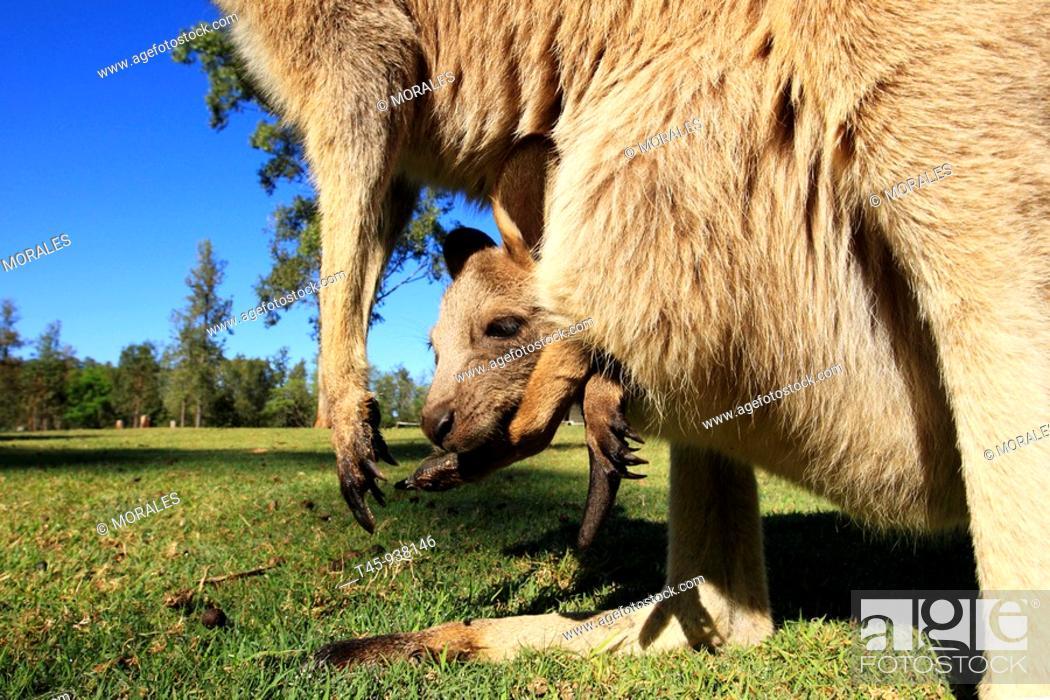 Stock Photo: Grey Kangaroo (Macropus giganteus), Queensland, Australia.