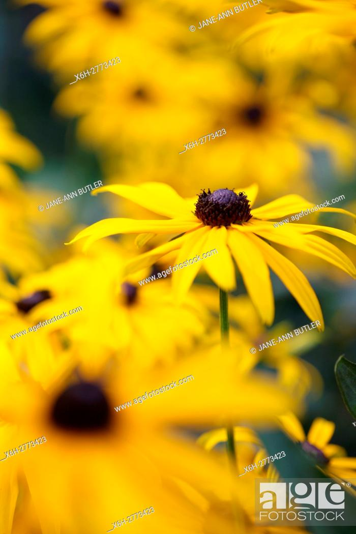 Stock Photo: a feel good display of Summer rudbeckia, coneflower or black-eyed susan.