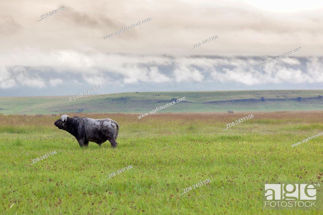 Imagen: buffalo in ngorongoro crater. tanzania.