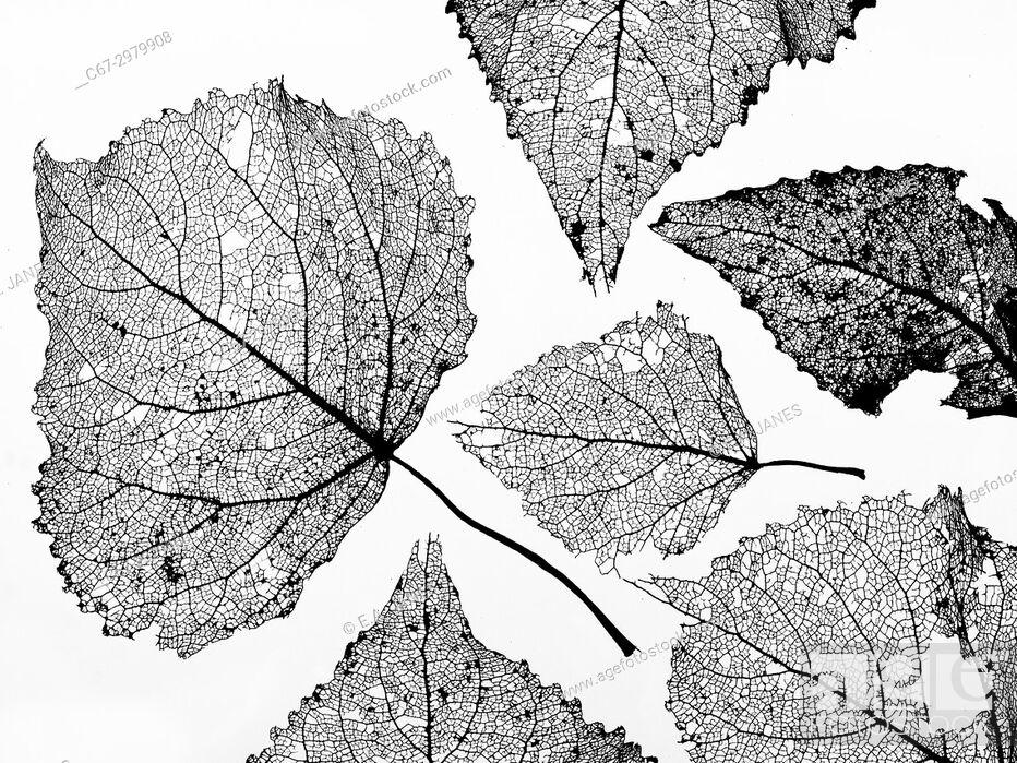 Stock Photo: Black Poplar Populus nigra skeleton leaf at sunset.