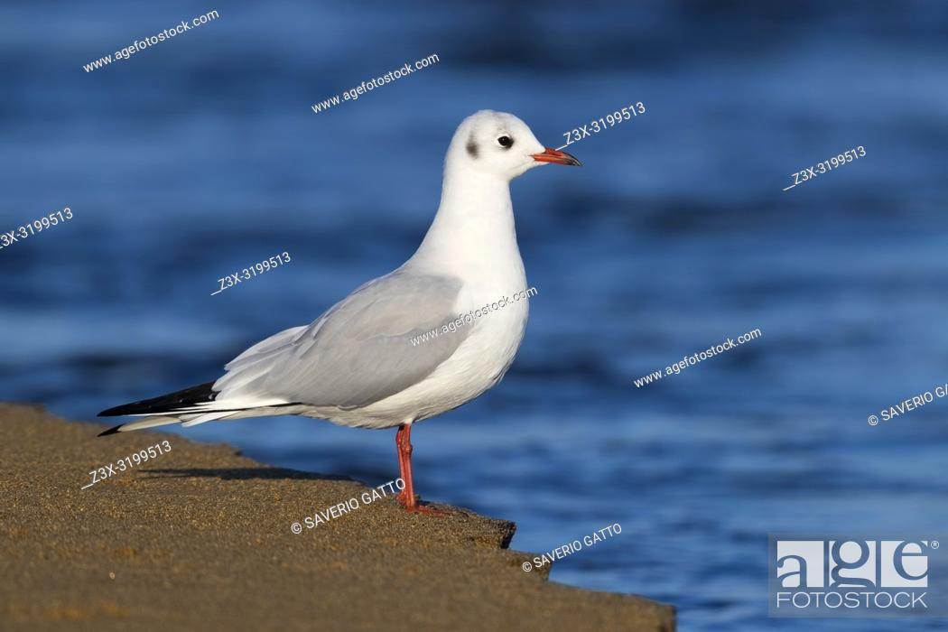 Stock Photo: Black-headed Gull (Chroicocephalus ridibundus), side view of an adult in winter plumage standing on the shore.