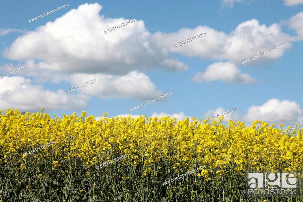 Imagen: Brassica, Oilseed rape, A mass of yellow flowers against blue sky.