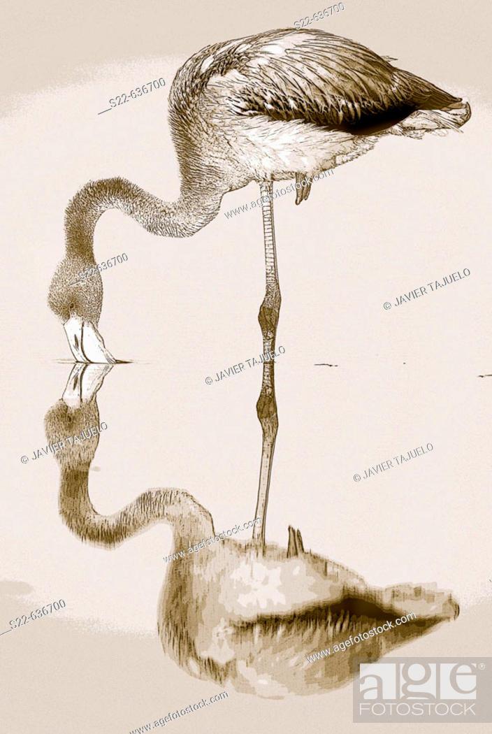 Stock Photo: Greater Flamingo (Phoenicopterus ruber). Toledo, Castilla-La Mancha, Spain.