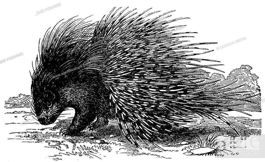 Stock Photo: Porcupine.