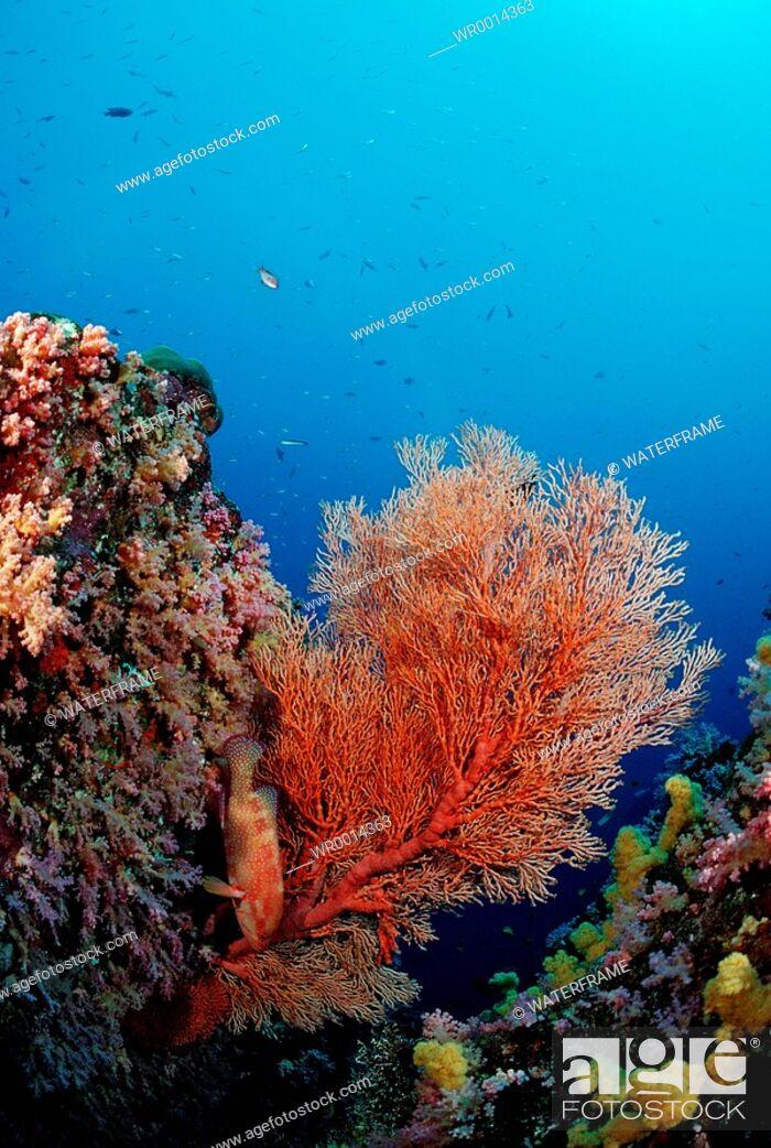 Stock Photo: Red Sea Fan, Similan Islands, Thailand.