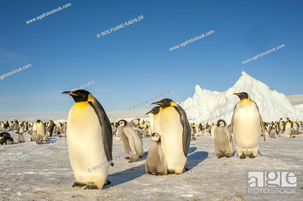 Imagen: Emperor penguins (Aptenodytes forsteri) with chicks on the sea ice at Snow Hill Island in the Weddell Sea in Antarctica.