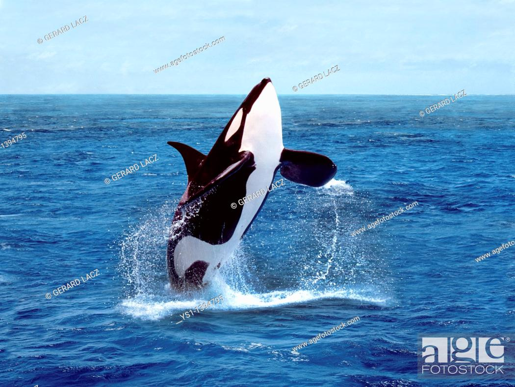 Stock Photo: Killer Whale, orcinus orca, Adult breaching.