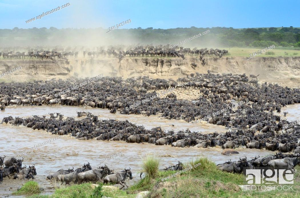 Stock Photo: Herd of Blue Wildebeest (Connochaetes taurinus) crossing the Mara River, Serengeti national park, Tanzania.