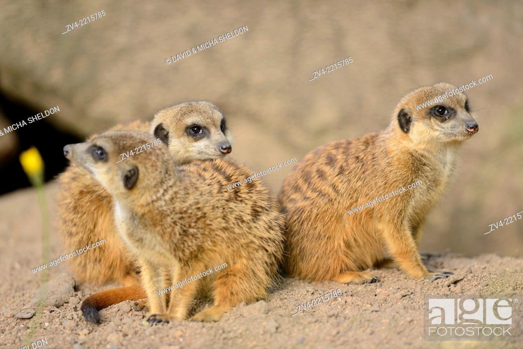 Stock Photo: Close-up of a group of meerkat or suricate (Suricata suricatta) in spring.