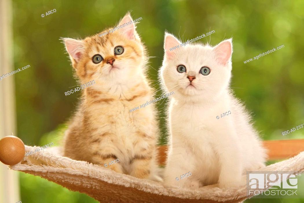 British Shorthair Cat, kittens, silver-shaded and golden-mackerel