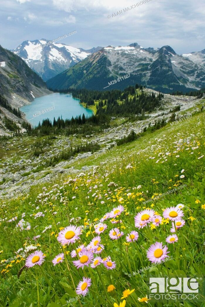 Stock Photo: Alpine meadows above Rohr Lake, Leafy Aster Aster foliaceus in the foreground Cayoosh Mountain 2561 m 8402 ft in the distance.