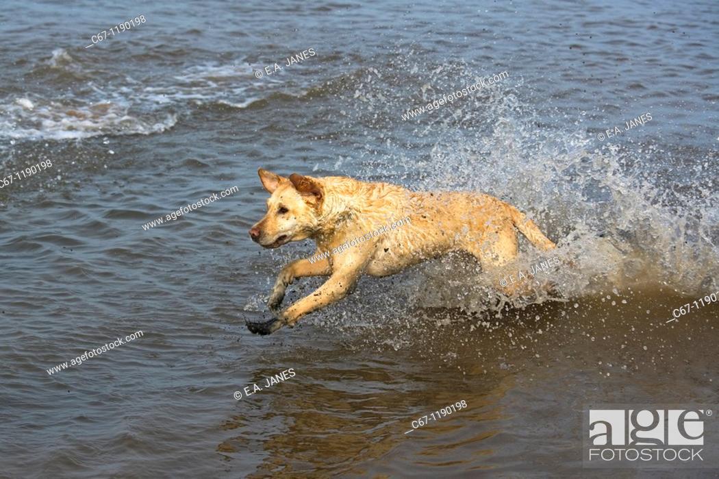 Stock Photo: Yellow Labrador.