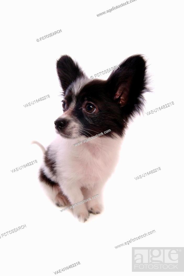 Stock Photo: faithful, domestic animal, companion, canine, close up, papillon.