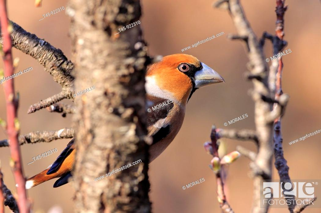 Stock Photo: Hawfinch (Coccothraustes coccothraustes) perched on almond tree, Vaucluse, France.