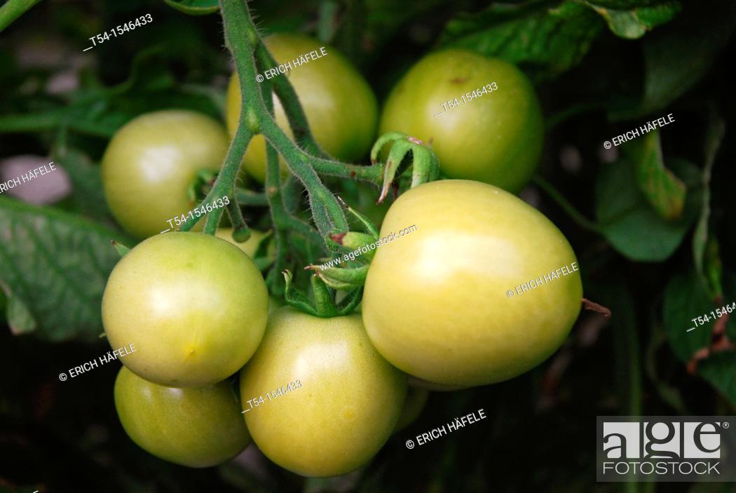 Stock Photo: Green tomatoes on a tomato bush.