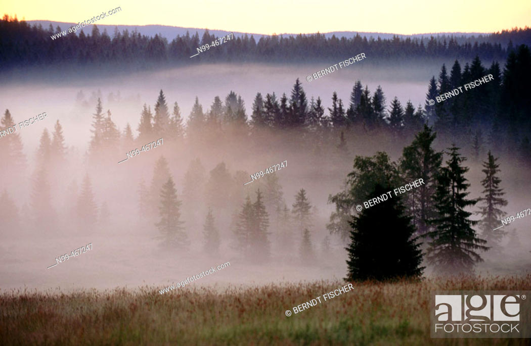 Stock Photo: Pine forest, morning fog, sunrise. Raised bog. High moor. Knizeci Plane. Strictly protected area. National Park Sumava. Czech Republic.