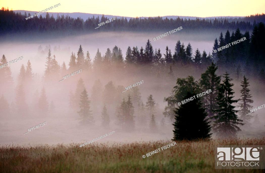 Stock Photo: Pine forest, morning fog, sunrise. Raised bog. High moor. Knizeci Plane. Strictly protected area. National Park Sumava. Czech Republic.