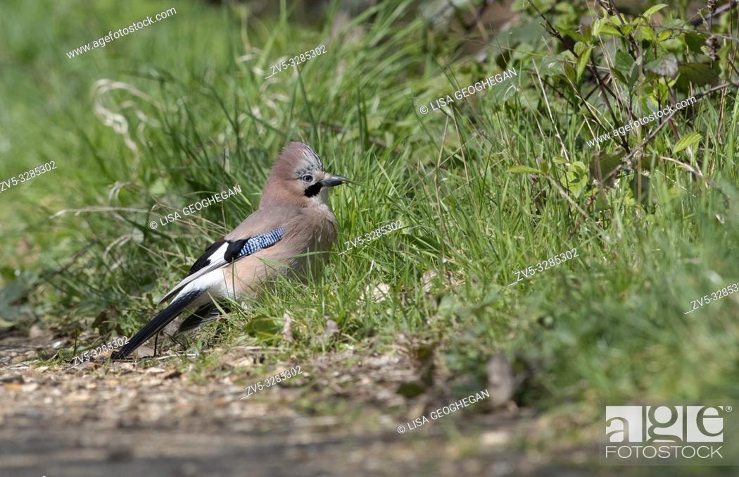 Imagen: Jay-Garrulus glandarius feeds. Spring. Uk.